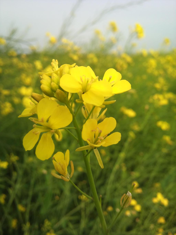 Цветки горчицы