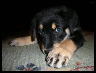 Milo-10 weeks by maiziedog