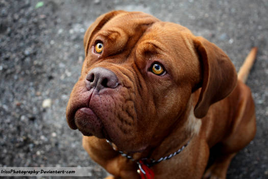 Dogue the Bordeaux