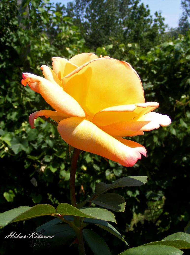 Yellow Rose by MistVampireHikari
