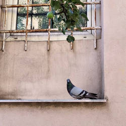 Pigeon on a window