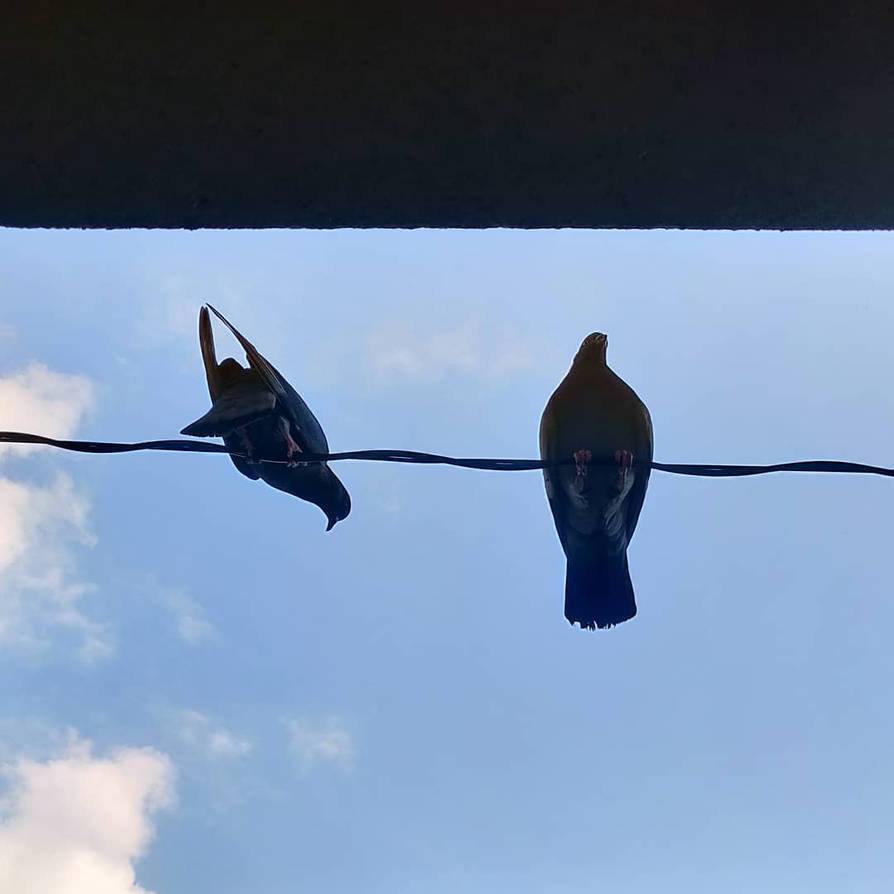 Pigeons on a wire by FutureMillennium