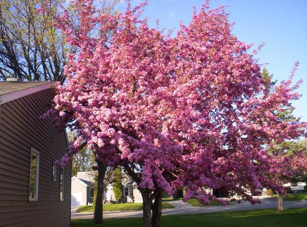 Cherry Blossoms  SVGCutscom