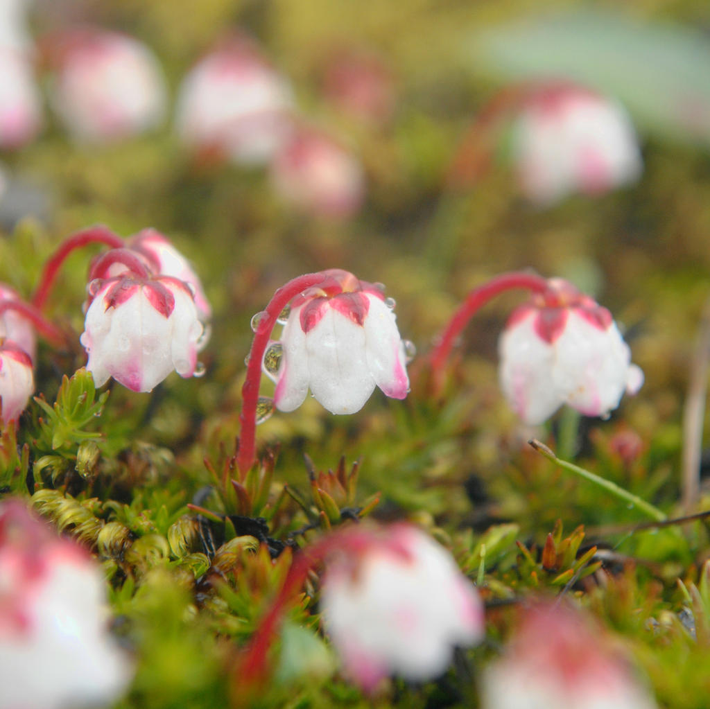 Moss Bell Heather by MesmerizedByNature