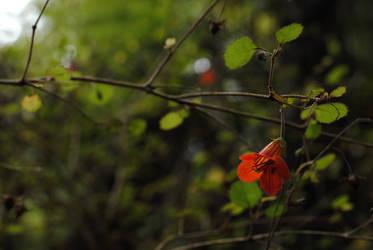 New Zealand Gloxinia, nr 1