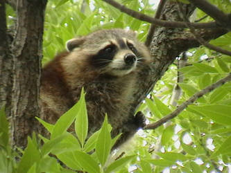 Raccoon by ariastrife