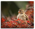 Sparrow in Red