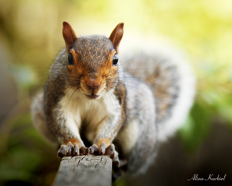 Eastern Gray Squirrel by AlinaKurbiel
