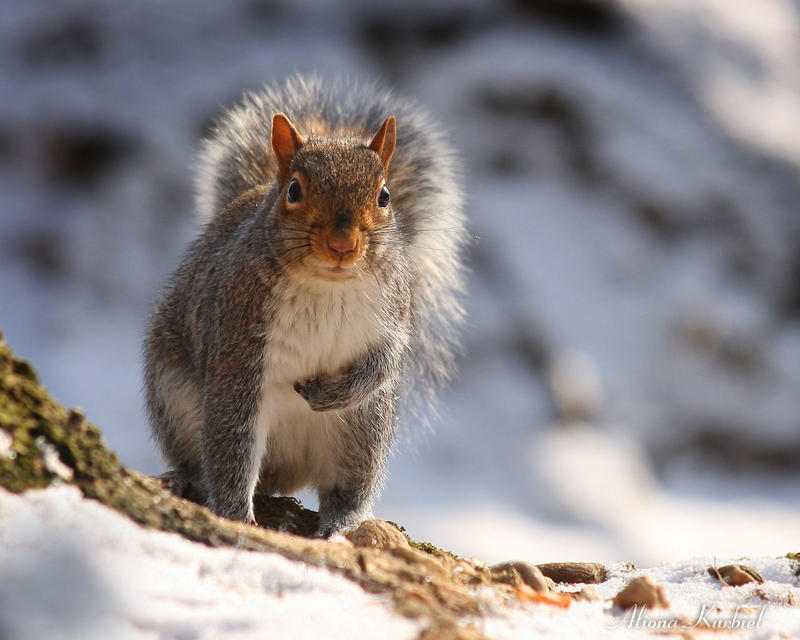 Winter Squirrel by AlinaKurbiel