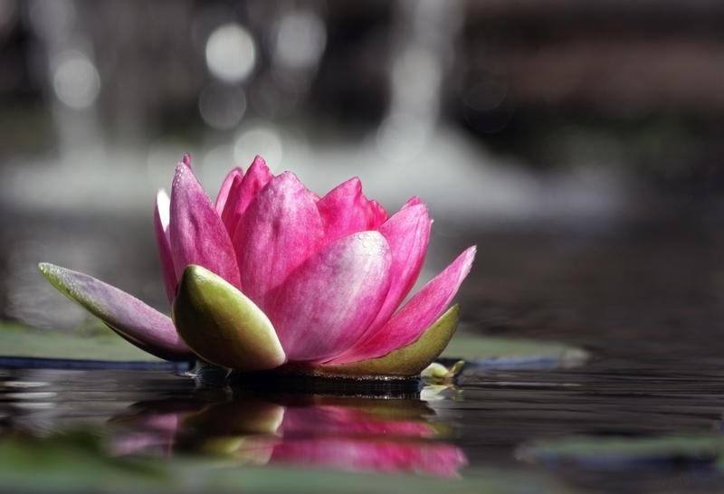 Water Lily by AlinaKurbiel