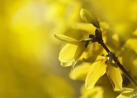 Yellow blossoms by AlinaKurbiel