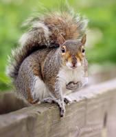 Gray Squirrel 2 by AlinaKurbiel