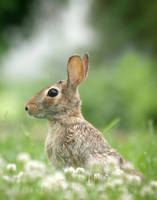 Rabbit in Clover by AlinaKurbiel