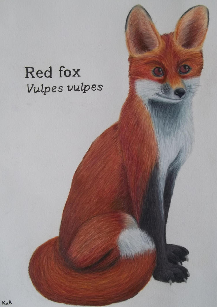 Simple Fox Drawing Red Fox Drawing Declan by
