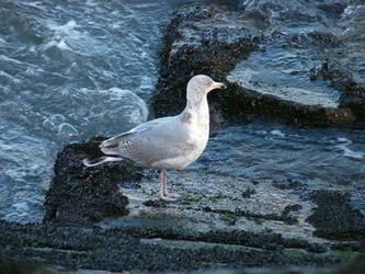 Gull. by FractalCaleidoscope