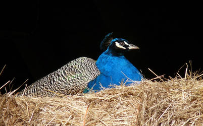 Peacock daddy taking it easy