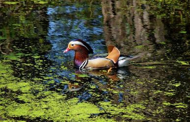 Mandarin duck (2)