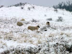Stock.  Winter  sheep in the dunes 5.x 13 844
