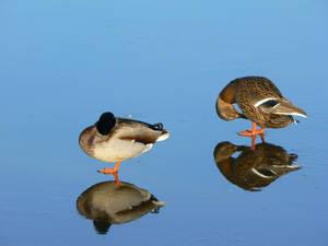 Stock,  Ducks on ice  1.x 180  (294) by FractalCaleidoscope