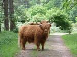Free, Stock,  Scottisch Highlander bull. by FractalCaleidoscope