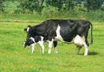Free, Stock, Mom stimulating her newborn calf.