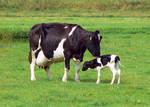 Free, Stock...  A newborn calf.