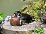 Free, Stock,  Carolina duck