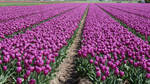 Stock, Free,  flowerfields in the NNetherlands 136
