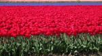 Flowerfields in the Netherlands (122)