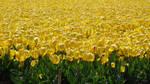 Stock, Free,  Flowerfields in the Netherlands