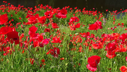 Free, stock, poppies