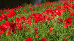 Free stock, poppies