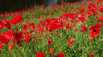 Poppies, a pleasure to the eye! by FractalCaleidoscope