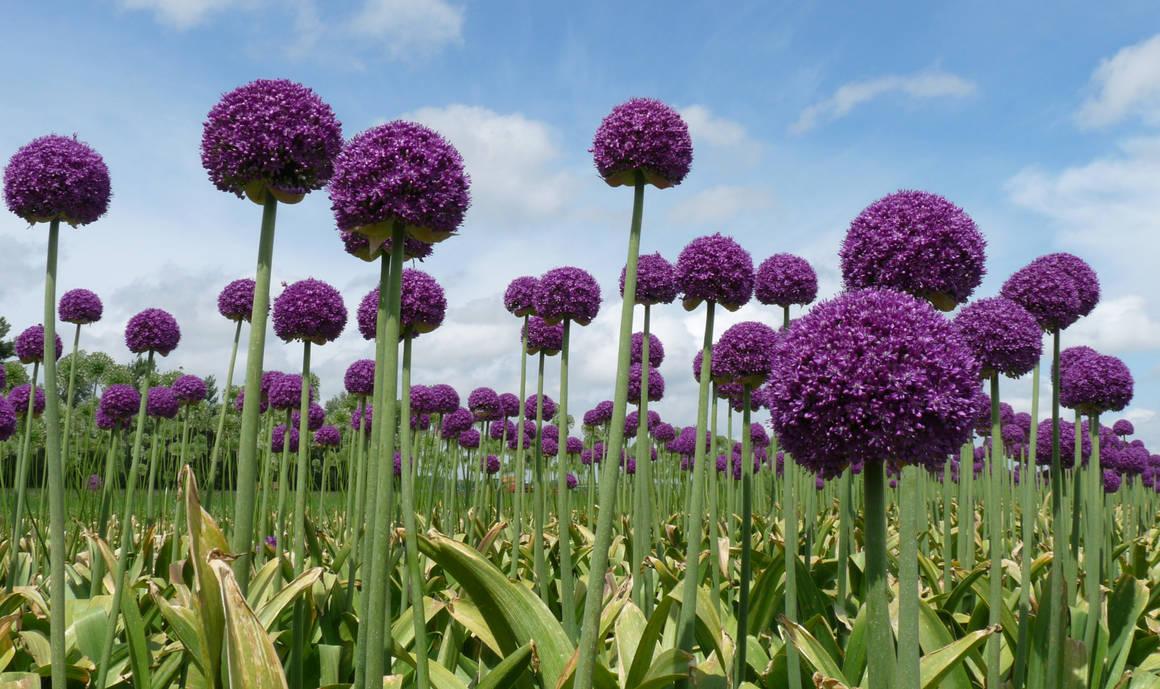 Stock, purple Allium field by FractalCaleidoscope