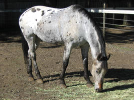 APPALOOSA Stock by zinadie-fish