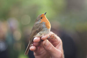 Ringed Robin by NebulaDreams