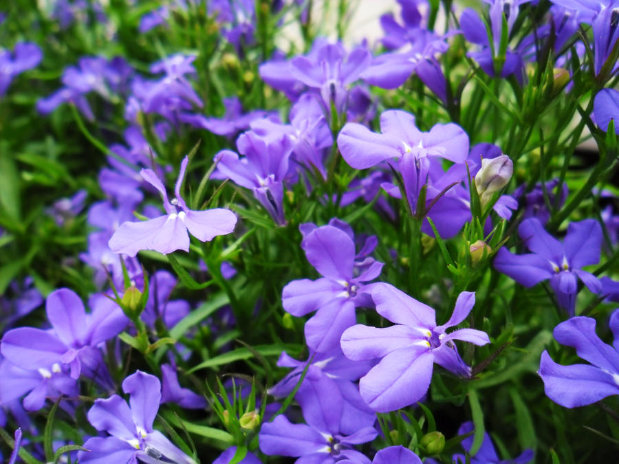 Violet Colored Flowers By Hyperactivehurricane On Deviantart
