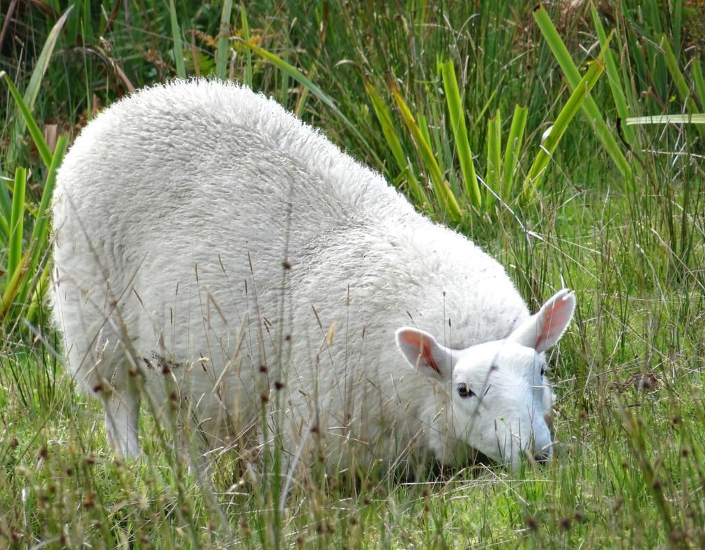 Hiding Sheep by Corycat