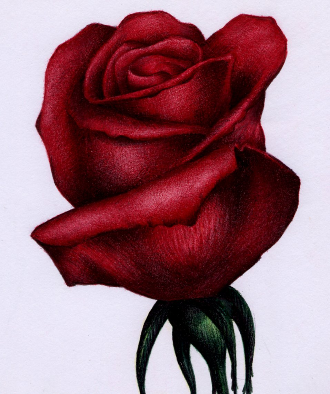 Red Rose Sketch - Bic Ballpoint Pen by VianaArts on DeviantArt