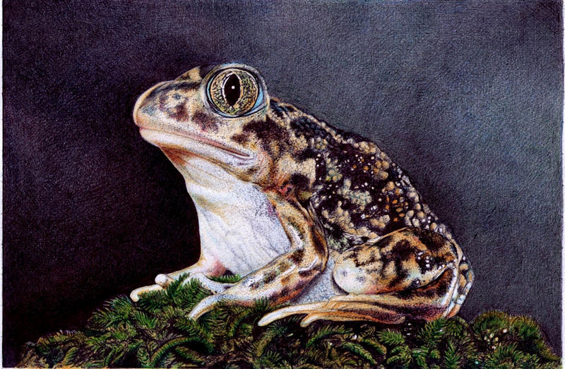 Sitting Toad - Bic Ballpoint Pen