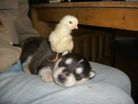A chick and a puppy