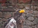also eagle