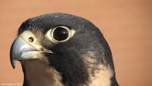 VaPa, the peregrine, close-up
