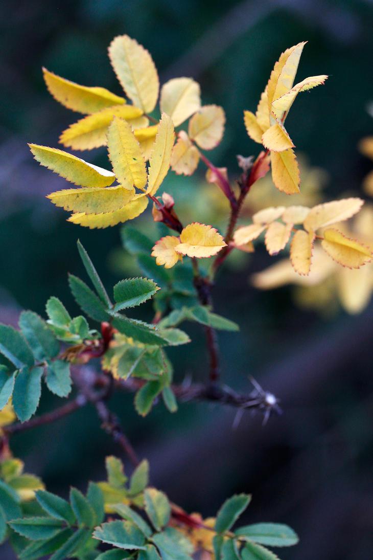 Yellow leaves by Chila-Sahara