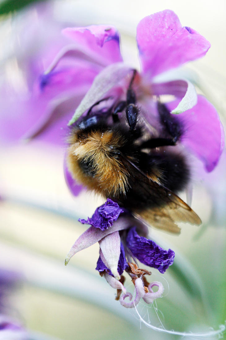 Bee and a flower by Chila-Sahara