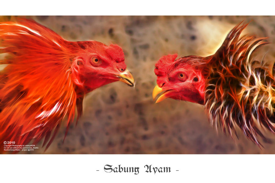 Image result for sabung ayam wallpaper