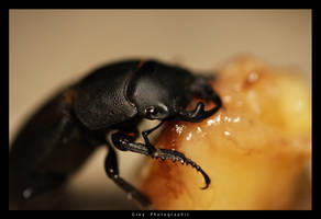 Lesser Stag Beetle by Undercover-Superhero