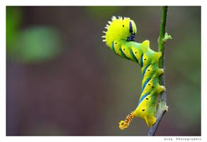 Jungle Caterpillar