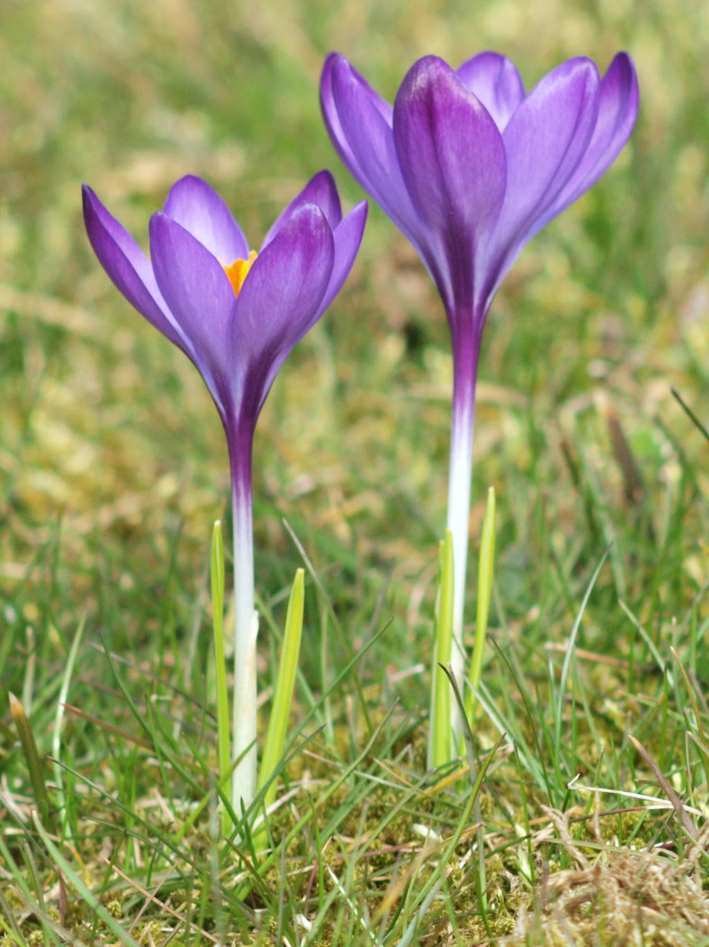 Crocus by pagan-live-style