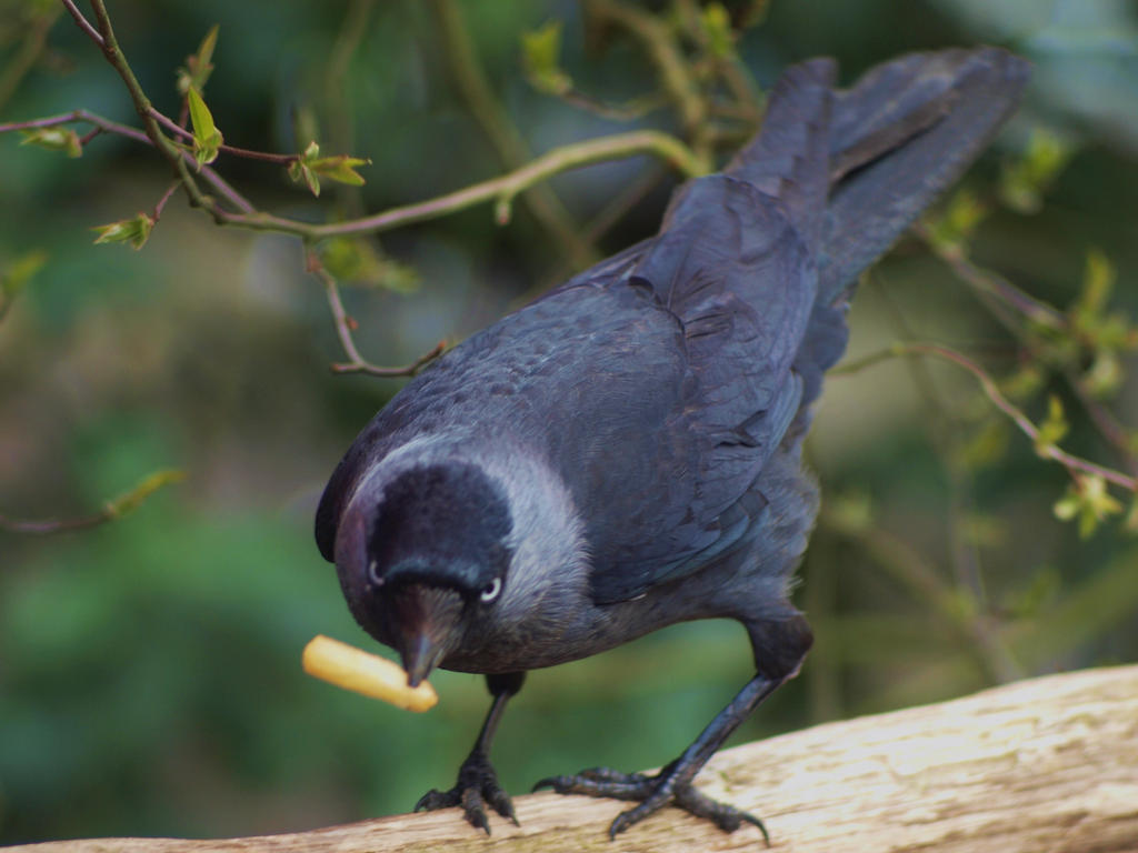 French fry eating jay by pagan-live-style